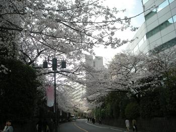 2010sakura1.jpg