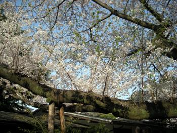 2010sakura4.jpg